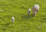 lamb thumbnail